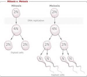 mitosis and meiosis bi sc002
