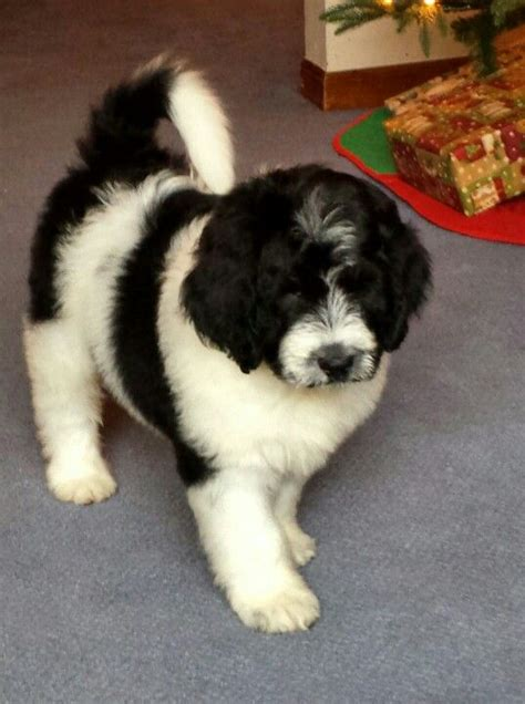 newfypoo puppies 17 best images about newfiepoo newdle on coats poodles and