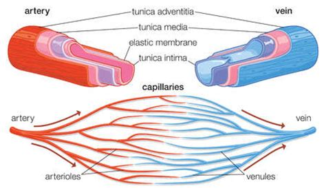 blood vessel cross section general features of blood vessels cardiovascular
