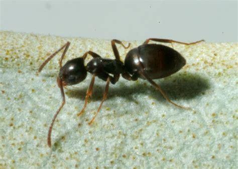 Odorous House Ants by Pest Identification Pestanators Pest Evansville In