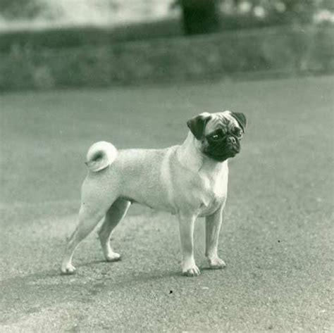 pug encephalitis test pug breed information