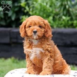 greenfield puppies cavapoo cavapoo puppies for sale in de md ny nj philly dc and baltimore
