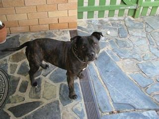 Giveaway Dogs Adelaide - for sale give away dog staffy purebreed
