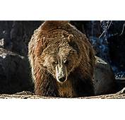 HD Wallpaper Download &187 ANIMALS Grizzly Bear