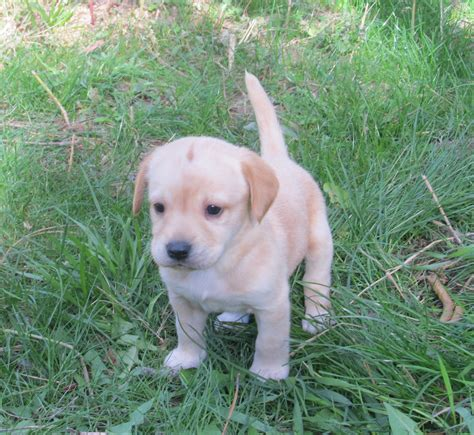 small lab small lab miniature lab puppies dog breeds picture
