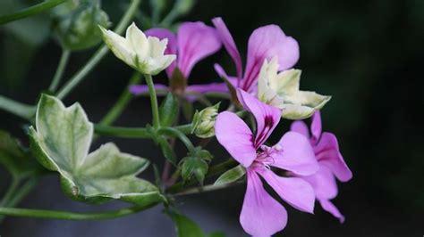 geranien pflanzen ab wann geranien pflanzen und pflegen hilfe sat 1 ratgeber