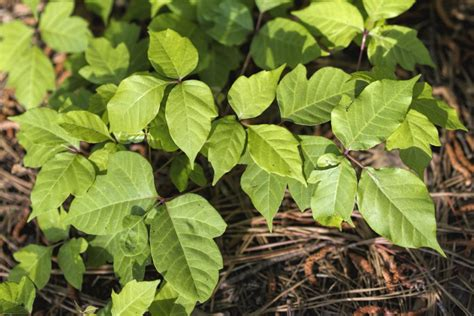 poison oak images poison oak photos and treatment options