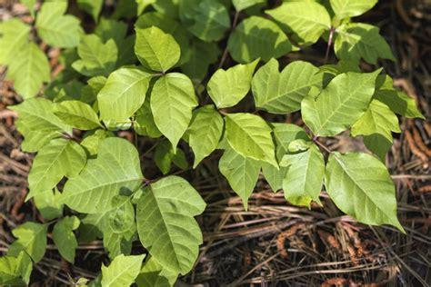 images of poison oak poison oak photos and treatment options