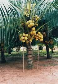 Biji Benih Tanaman Hias Pohon Palem Putri pohon hias pohon kelapa hias pohon palem kelapa ijo green
