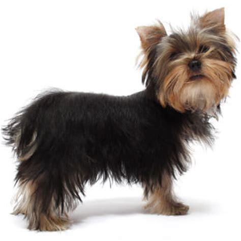 rat terrier yorkie terrier petcha