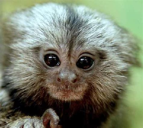 Kimar Pet by 17 Best Images About Monkey On Pets