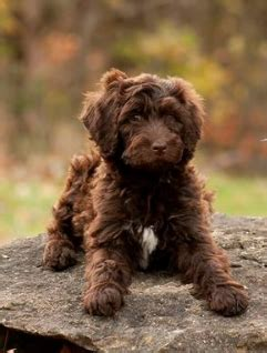 bordoodle puppies for sale labradoodle puppies for sale labradoodle breeders bordoodle puppies
