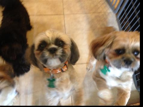 puppies orlando fl shih tzu puppies breeders orlando fl