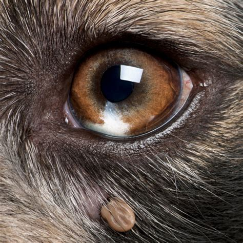 lymes disease in dogs image gallery lyme disease in dogs