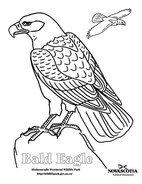 coloring book pages of bald eagles bald eagle coloring pages for kids coloring home
