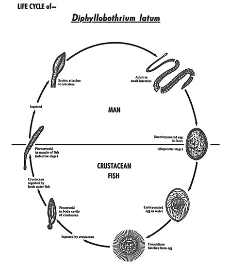 tapeworm cycle diagram www pixshark images galleries with a bite