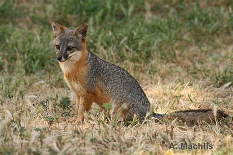 one fox friends of the island fox