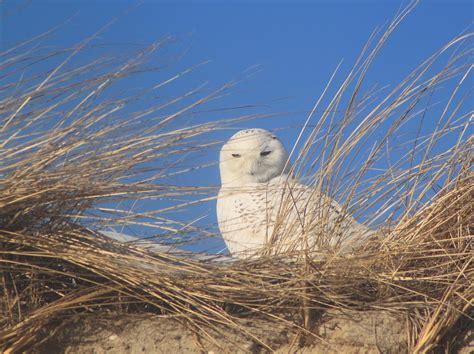 owls on cape cod snowy owl on cape cod dune photograph by burk