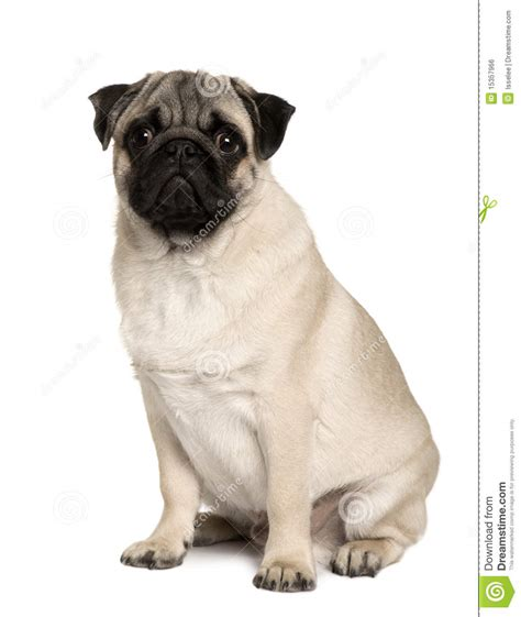 how to a pug to sit pug 6 months sitting royalty free stock image image 15357966