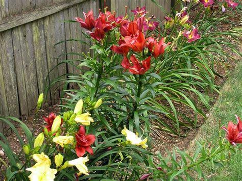 lilium in vaso lilium piante perenni coltivazione giglio