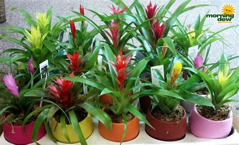tropical plants wholesale bromeliad morning dew tropical plants