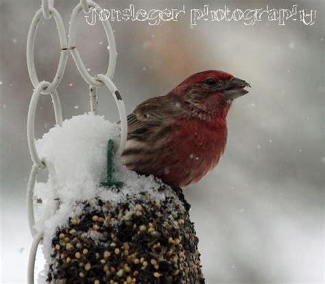 northern illinois birder house finch northern illinois