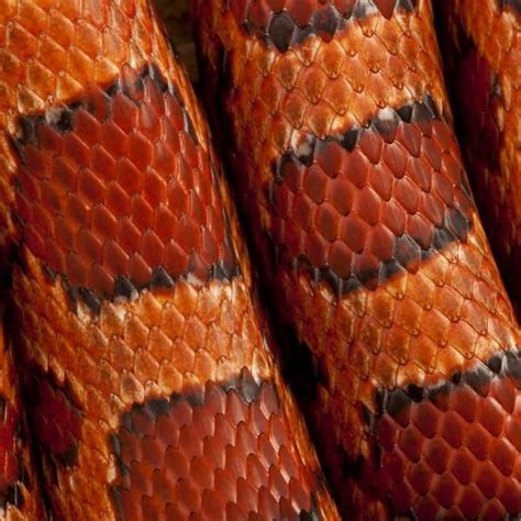 pin texture snake pictures reptiles skin pattern animals wallpaper on reptile scales gorgeous colours and patterns orange reptiles scale and patterns