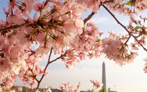 cherry tree 2015 parents guide cherry blossom forecast 2018 washington d c festival season arriving early travel leisure