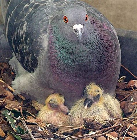 Pigeon Empeng Empeng Baby Pigeon about and pigeon and baby pigeons 2 4 days pigeon pictures mobiles and pictures