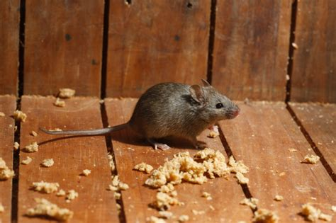 rats in basement rodents in your basement we can help