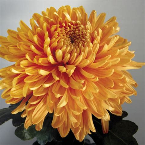 astro flower 1000 ideas about chrysanthemums on pinterest