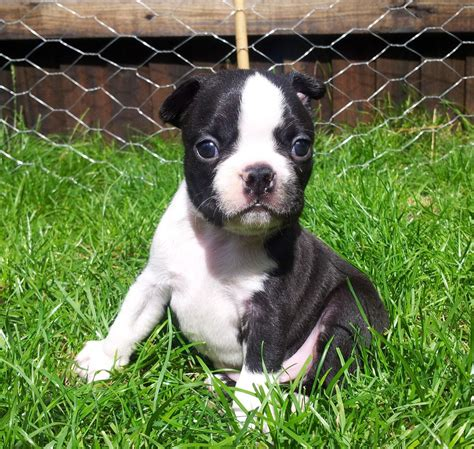 boston puppies for sale beautiful boston terrier puppies for sale birmingham west midlands pets4homes