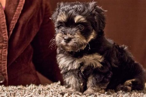 havanese ta black and havanese puppies pictures to pin on pinsdaddy