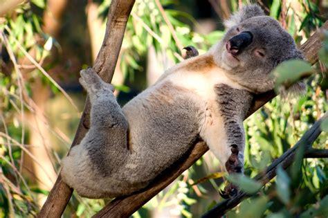 green koala wallpaper baby koala sleeping wallpaper