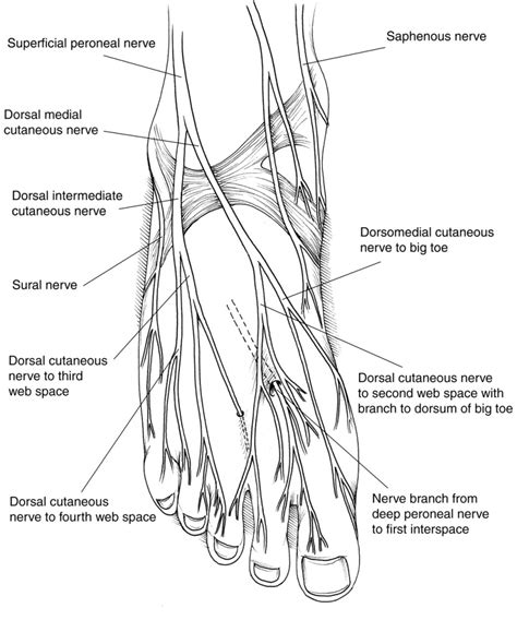 nerves of the human diagram foot anatomy nerves human anatomy diagram