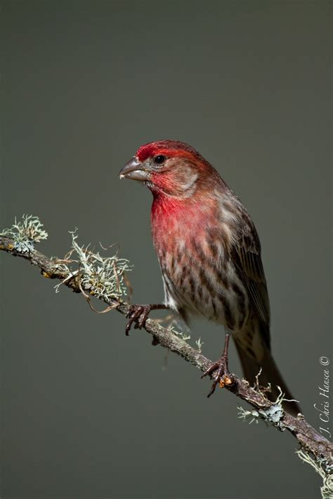 1000 images about chandler az backyard birds on pinterest