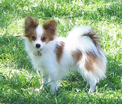 papillon puppies papillon breed pictures information temperament
