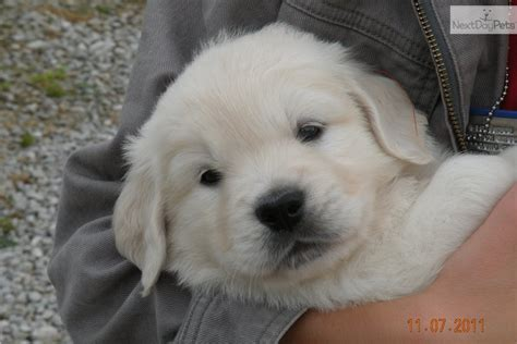golden retriever puppies for sale in northeast ohio golden retriever puppy for sale near cleveland ohio c460f2bf d561