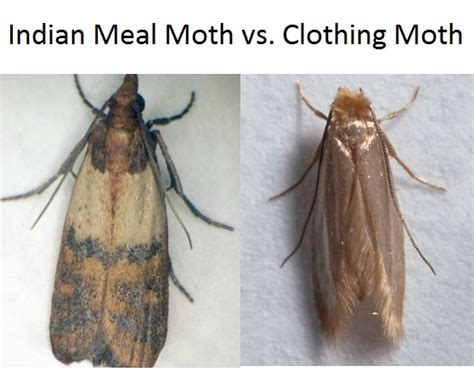 indian meal moth budget pest pittsburgh