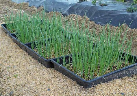 Bibit Bawang Daun Dari Biji cara menanam bawang merah di musim hujan belajar berkebun
