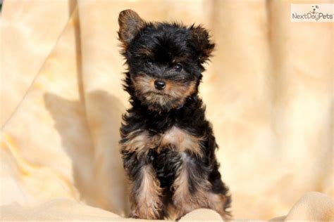 where to buy a yorkie poo buy yorkie poo puppies yorkie poo dogs breeds picture