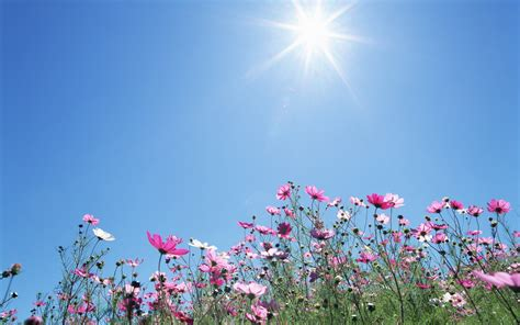 flowers sky nature light plant bloom hd wallpapers 11 cosmos blue sky cosmos flower