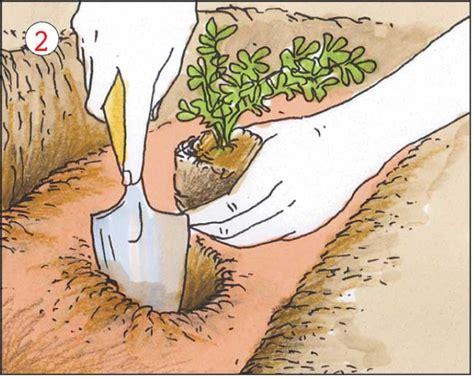 coltivazione sedano sedano coltivazione trapianto e imbianchimento fai da