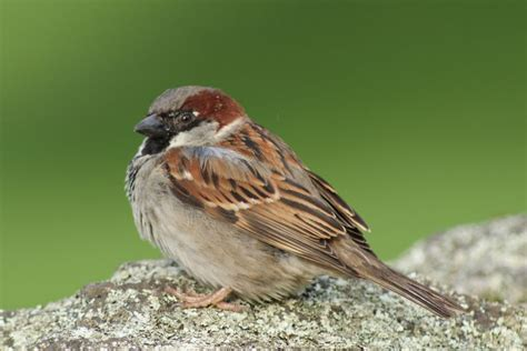 house sparrows house sparrow tony keene birds