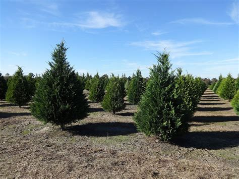 hubbards christmas tree farm traditional tree farms in sonoma county