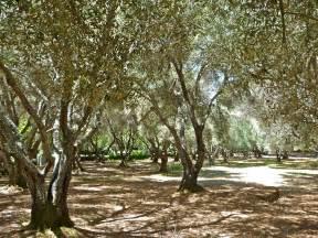 olive tree file olive trees jpg