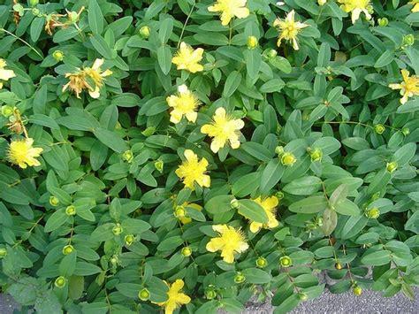 Foliage Plants For Shade - hypericum calycinum