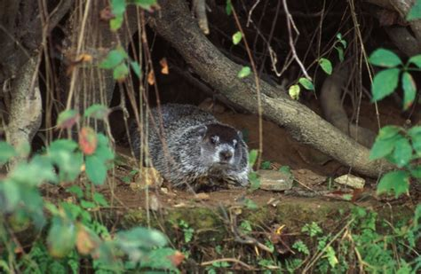 groundhog day xplor mdc news from 12 2016 missouri department of conservation