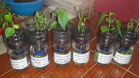 cara membuat nutrisi hidroponik untuk cabe uji coba tanaman cabe dan kangkung dengan nutrisi ab mix