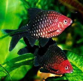 Barb or Black Ruby Fish (Barbus Nigrofasciatus)   The Fish